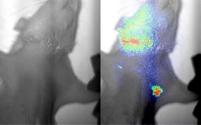 Fluorescence-In-Vivo-Imaging